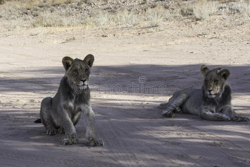 Young Lions in the ethosha national park. Namibia resting on the road stock image