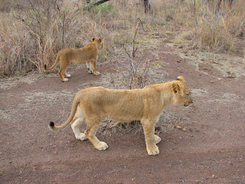 Young lions. In gamereserve Zimbabwe stock image