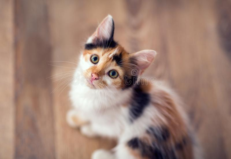 Young little cat looking up. In camera royalty free stock photography