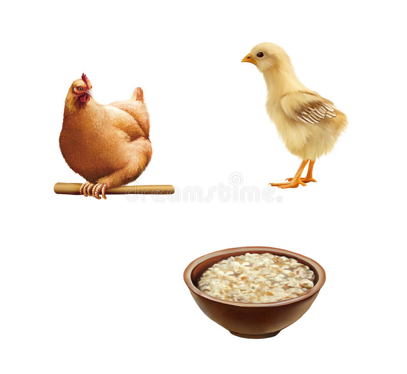 Young little chick, Brown hen sitting, Bowl of. Cute young little chicken and a chick isolated on white background stock images