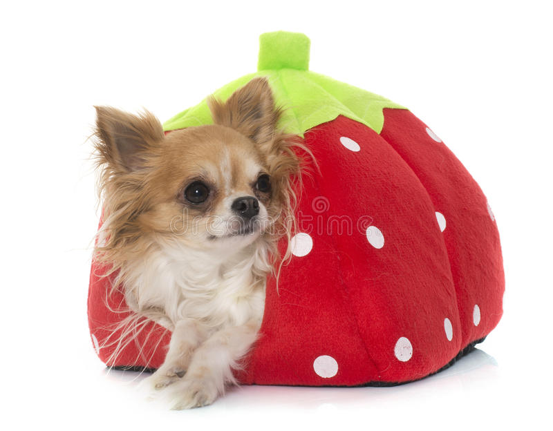 Young little chihuahua in dog bed. In front of white background royalty free stock image