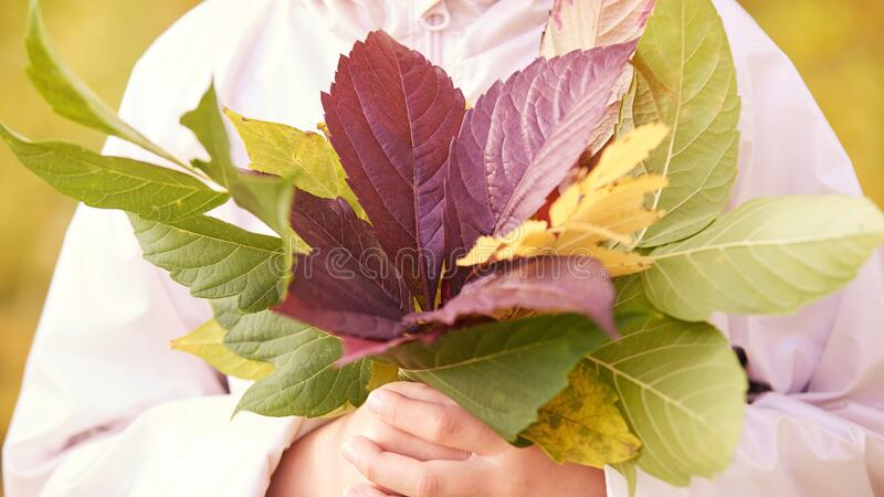 Young little girl hold fall leaves in hands. Red, gree and yellow leaf. Autumn nature outdoor city royalty free stock photo