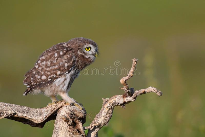 Young little owl, Athene noctua, stands on a dry branch on a beautiful summer background stock photos