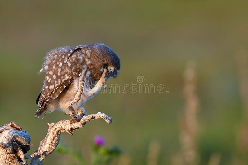 Young Little owl, Athene noctua, stands on a stick with a raised paw on a beautiful background royalty free stock photos