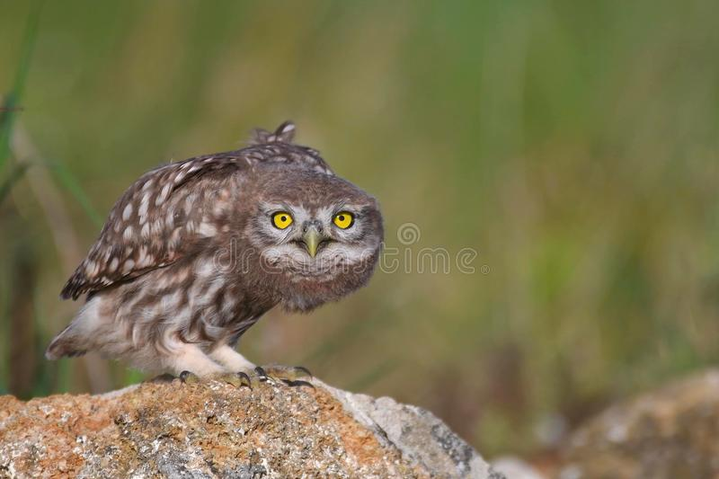 Young little owl, Athene noctua, stands on a stone and looks at the camera royalty free stock images