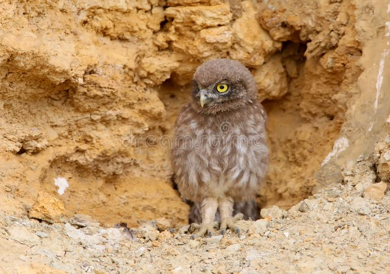 A young little owl exploring the outside world. Next to his nest stock image