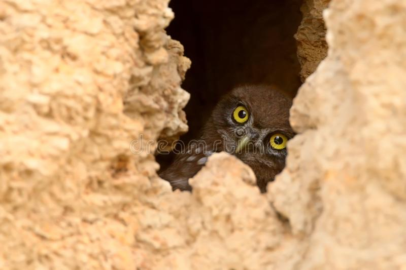 A young little owl looks from the hole to the outside. World royalty free stock photo
