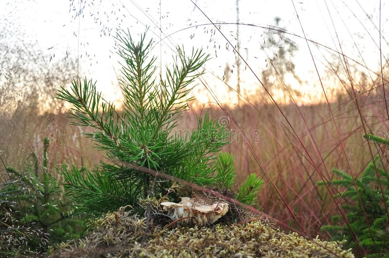 Young little pine in yellow dry grass. Nature background stock photo