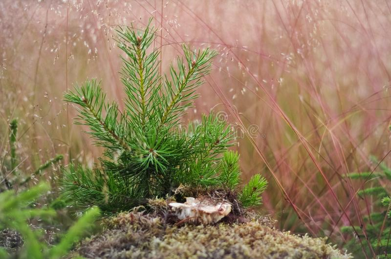 Young little pine in yellow dry grass. Nature background royalty free stock photography