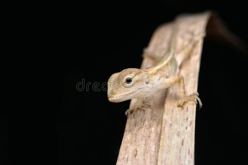 Download Young lizard stock image. Image of young, brown, garden - 93219299