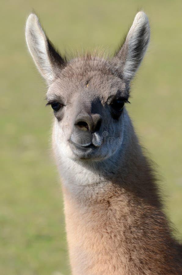 Young Llama Royalty Free Stock Photo