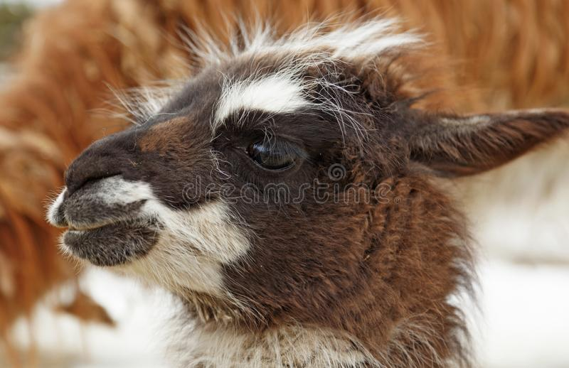 A young llama looks around outdoors for the first time stock images