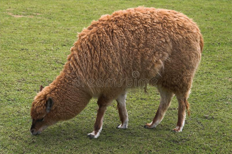 Young llama pasturing on green grass royalty free stock images