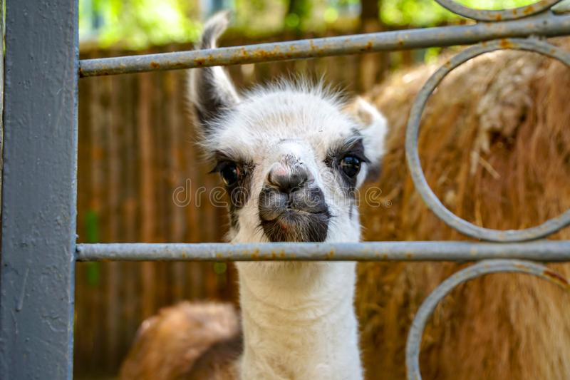 Young llama in the zoo. Funny young llama looks through the cage bars stock images