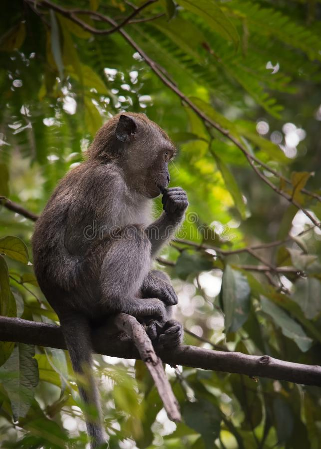 Young Long-tailed macaque monkey sitting on tree branch, taken on Langkawi island, Malaysia royalty free stock photos