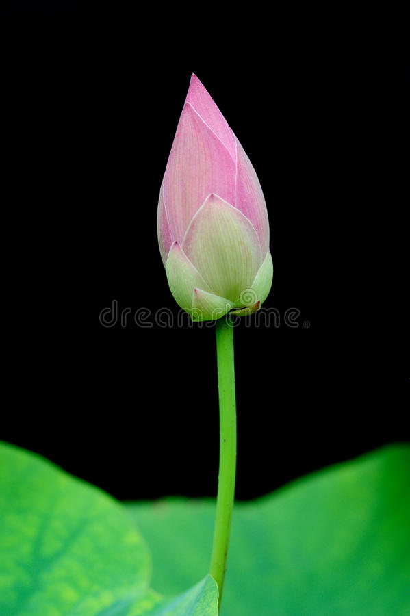 Free Young Lotus Stock Image - 15645821