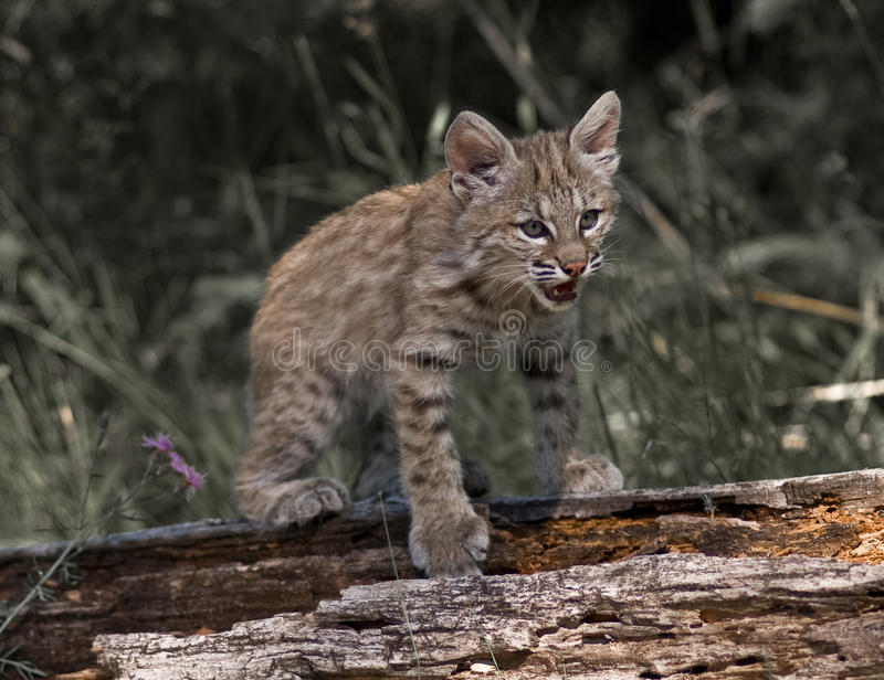 Download Young Lynx stock image. Image of feline, wildlife, trees - 12466939