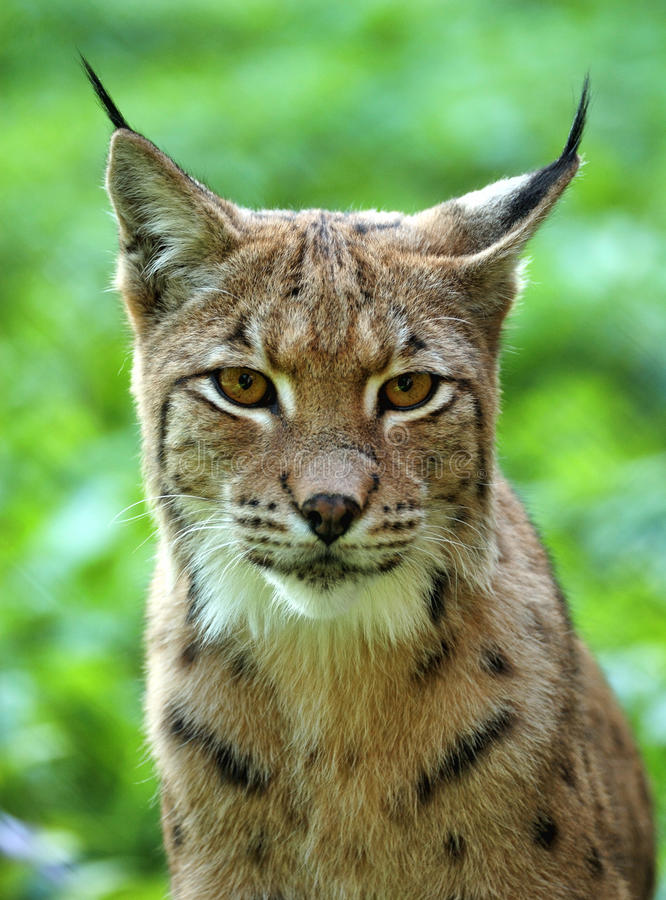 Download Young lynx stock image. Image of animal, captivated, look - 22380767