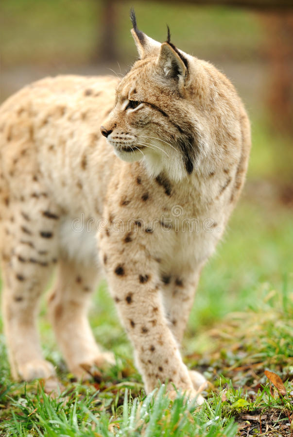 Download Young Lynx Stock Image - Image: 24933321