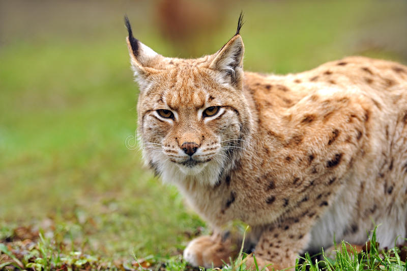 Download Young Lynx stock photo. Image of look, animal, forest - 24933334