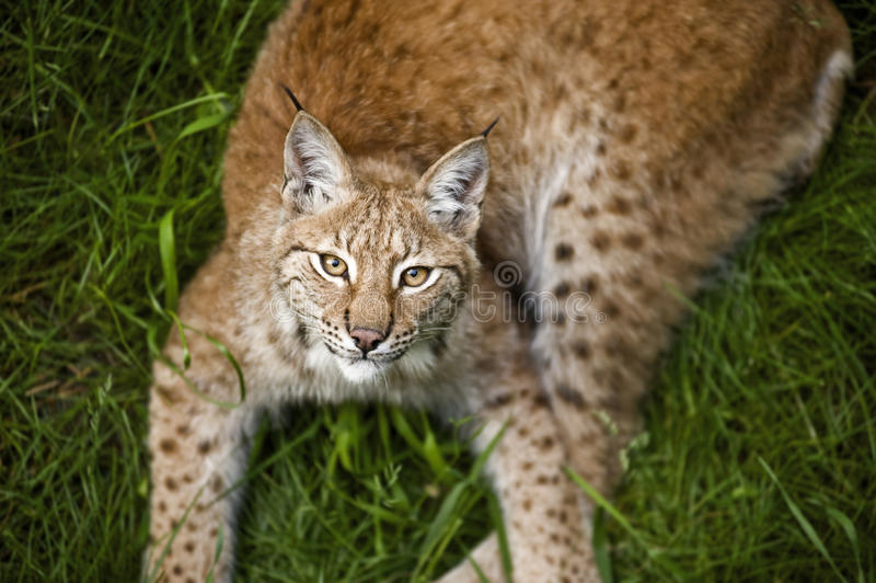 Download Young lynx stock photo. Image of natural, park, hunter - 25721676