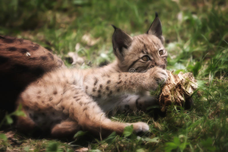 Young lynx bobcat. Playing with wood in the grass royalty free stock image