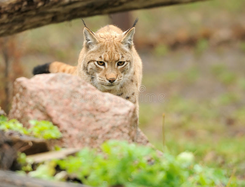 Young lynx stock photography