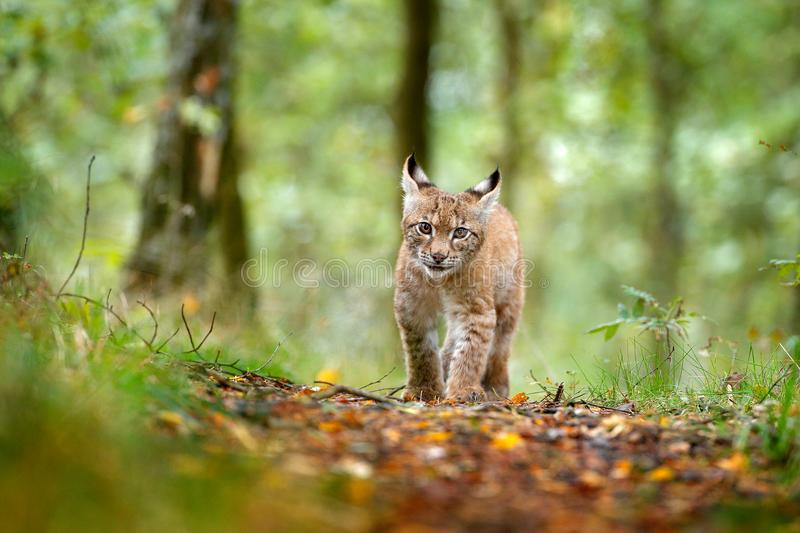 Young Lynx in green forest. Wildlife scene from nature. Walking Eurasian lynx, animal behaviour in habitat. Cub of wild cat from G. Ermany. Wild Bobcat between royalty free stock image