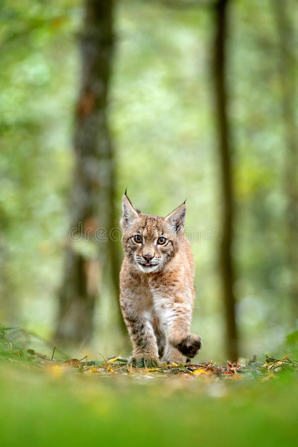 Young Lynx in green forest. Wildlife scene from nature. Walking Eurasian lynx, animal behaviour in habitat. Cub of wild cat from G. Ermany. Wild Bobcat between stock images