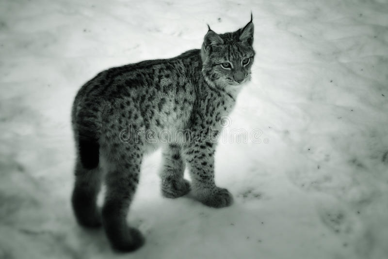 Download Young lynx in the snow stock photo. Image of winter, nature - 13228384