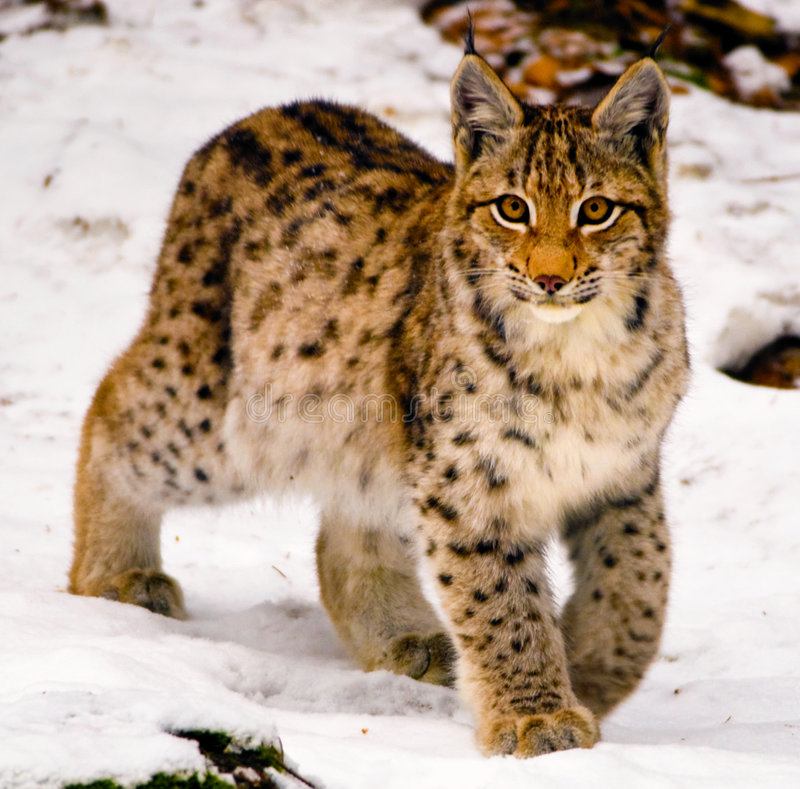 Young lynx in winter. A young lynx hunting in snow royalty free stock image