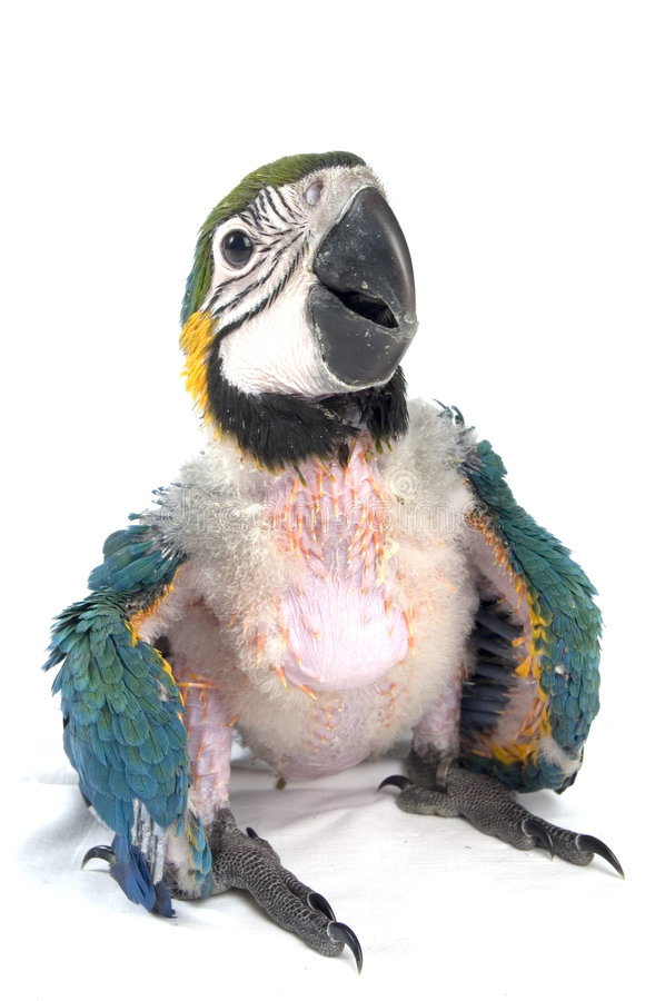 Young macaw. Young baby macaw is sitting on the floor royalty free stock images