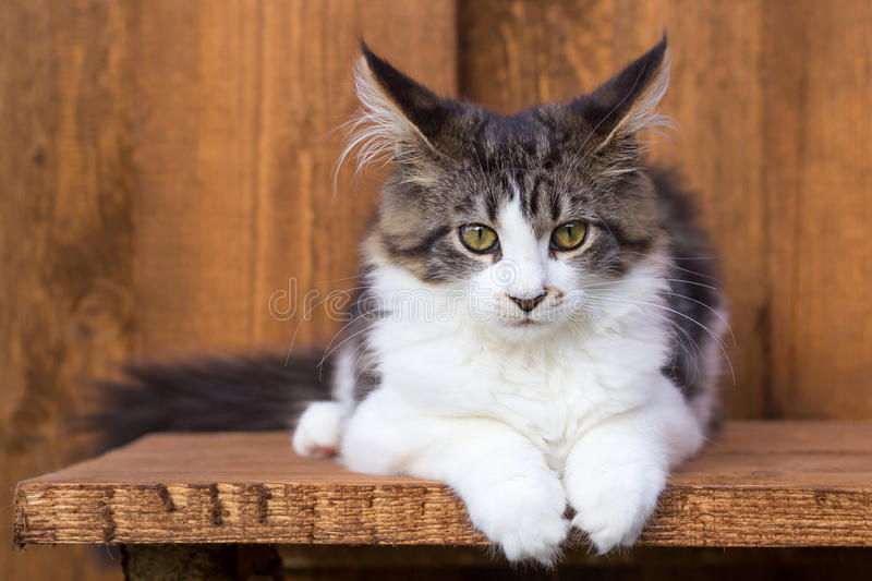 Download Young Maine Coon Lying On Wooden Board Stock Photo - Image: 27409882