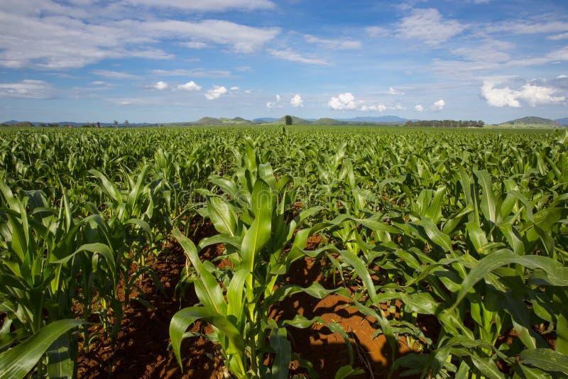 Young maize crop. Atherton Tableland, Queensland, Australia. Canon 5D MkIII stock photo
