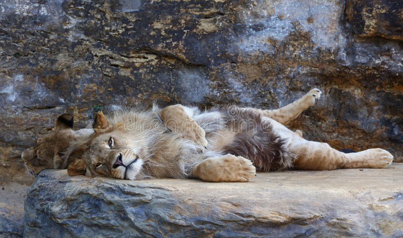 Young male African lion laying on the rock stock image