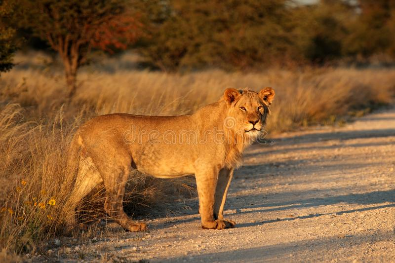 Young male African lion - South Africa stock photos