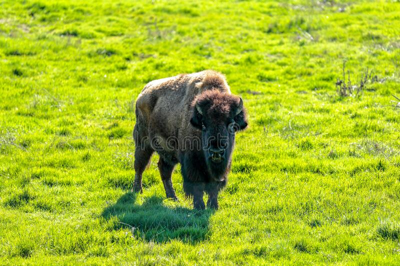 Young male American Bison standing on a green field stock photos
