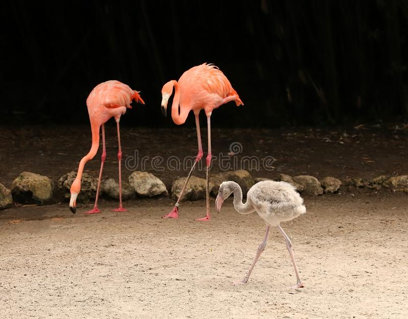 Baby flamingo with mom and dad stock images