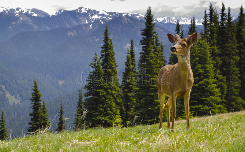 Download Young Male Blacktail Deer In Mountain Meadow Stock Image - Image of national, washington: 54491851