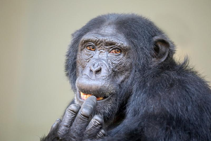 Young male chimpanzee. A Young male chimpanzee portrait royalty free stock images