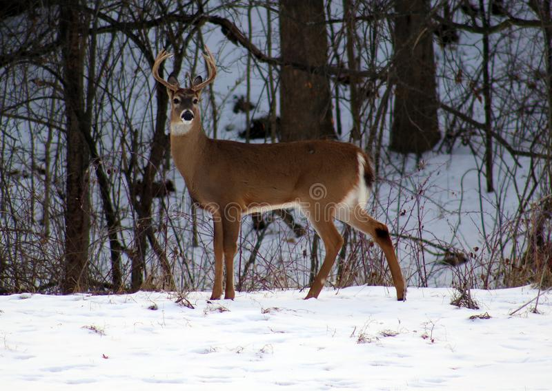Young male deer during winter male white tail buck. Over the snow stock image