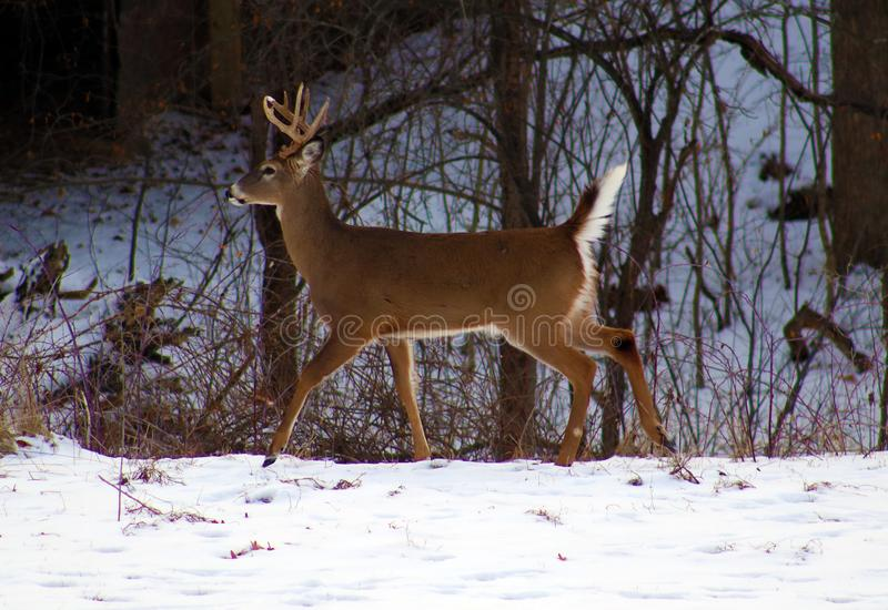 Young male deer during winter male white tail buck. Over the snow stock photos