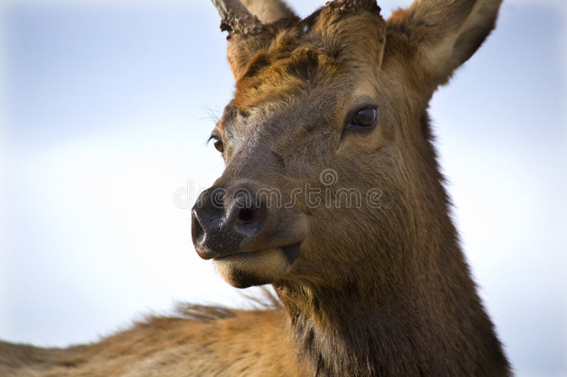 Download Young Male Elk Very Close Up Montana Stock Image - Image: 7530667