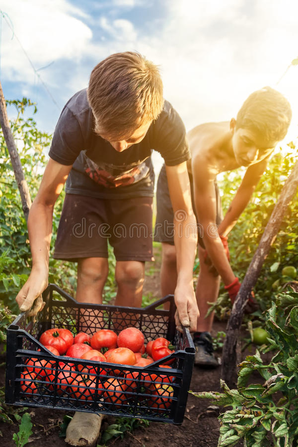 Young male farmer picking up fresh tomatoes at plantation royalty free stock images