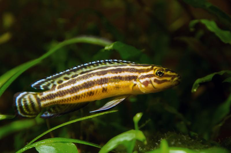 Young male of freshwater fish, lake Tanganyika timid and vulnerable endemic species hide in rich plant vegetation in nature aqua stock images
