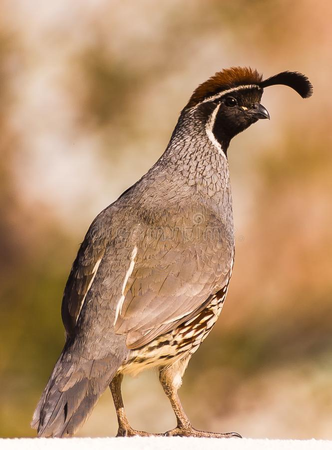 Young male Gambel`s quail royalty free stock image