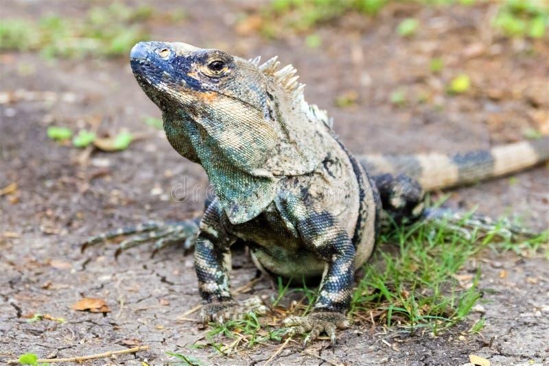 Young male Green iguana - Iguana Iguana royalty free stock photos