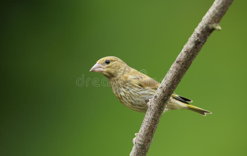 A young male Greenfinch Carduelis chloris perched on a branch.. stock photos