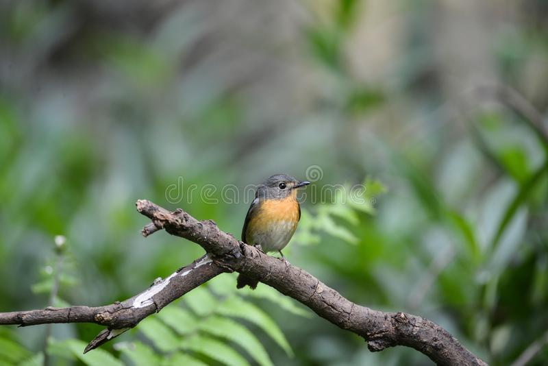 Hill Blue Flycatcher young male, Wild bird in Vietnam royalty free stock images