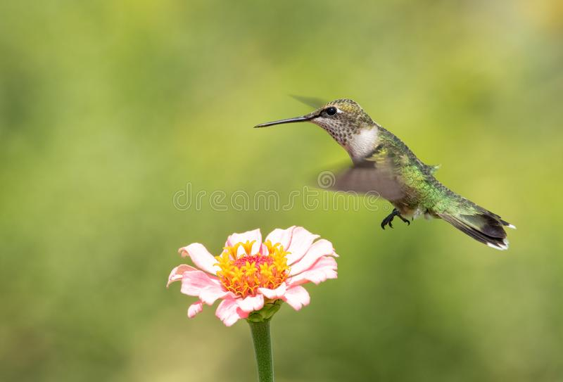 Young male Hummingbird hovering over a pink Zinnia flower. In sunny summer garden royalty free stock photography